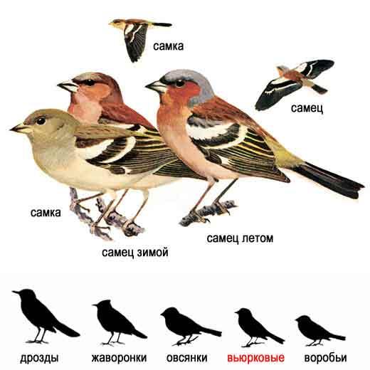 Самка и молодые птицы серые с зеленоватым надхвостьем.  Внешний вид.