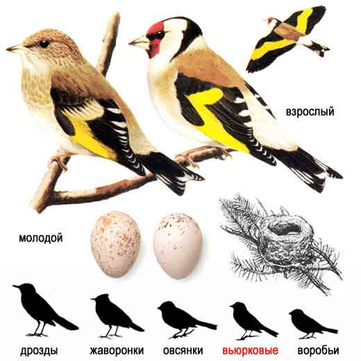 <strong>�����</strong> � Carduelis carduelis: �������� � �������