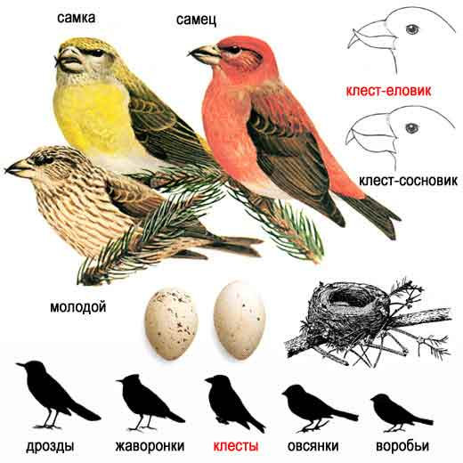 Внешний вид птица немного крупнее