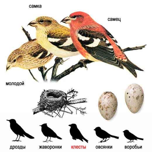 Роюз охраны птиц России птицей 2009 года выбрал лебедя.