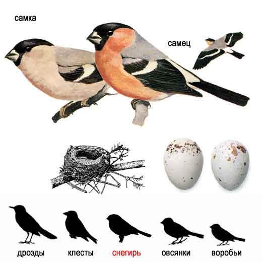 ...птиц лесов нашей страны, величиной значительно крупнее