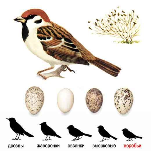 Полевой воробей, или красноголовый, или деревенский воробей (устар.) — Passer montanus