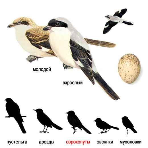 Ркачать Голоса птиц - Птицы средней полосы России книгу.