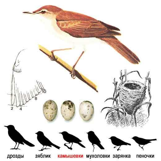 Тростниковая камышевка — acrocephalusscirpaceus