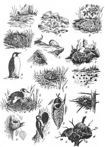 Гнезда птиц: На земле - кладка без гнезда у козодоя (А) и