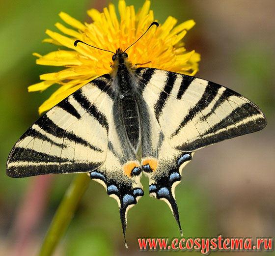 подалирий бабочка фото