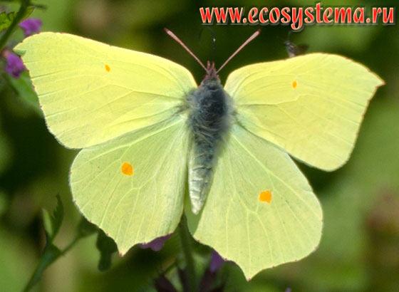 лимонница бабочка фото