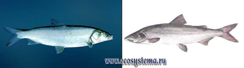 Виды рыб пресноводные полупроходные