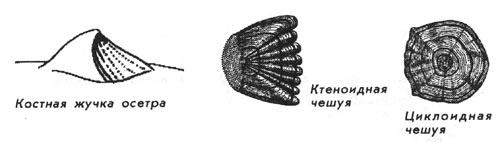 Зачем рыбе чешуя? - Рыбы Енисея - krasu ru