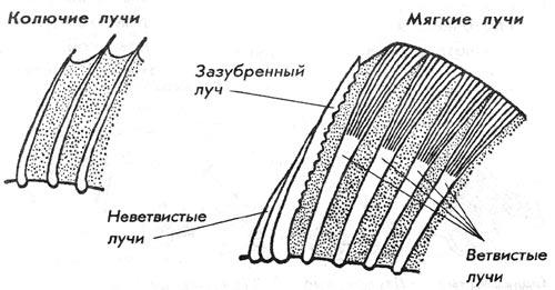 строение плавников у рыб