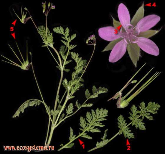 Аистник обыкновенный, или Грабельки — Erodium cicutarium (L.) L'Herit.