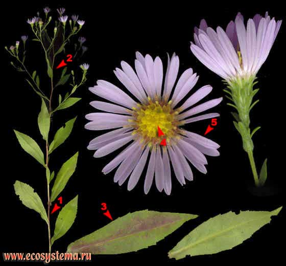 Астра иволистная — Aster salignus Willd. (Aster salicifolius Scholl.)