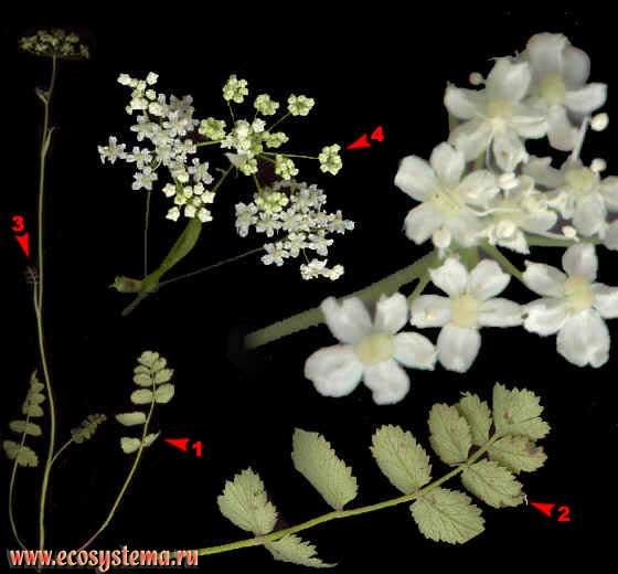Бедренец-камнеломка — Pimpinella saxifraga L.