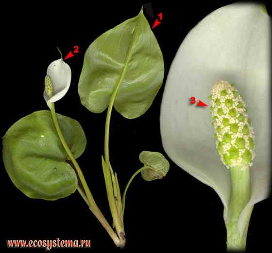 Белокрыльник цветок