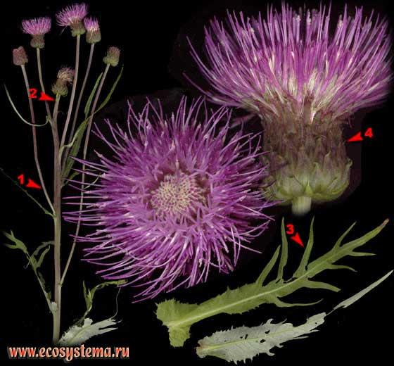 Бодяк полевой, или Розовый осот — Cirsium arvense (L.) Scop. s. l.