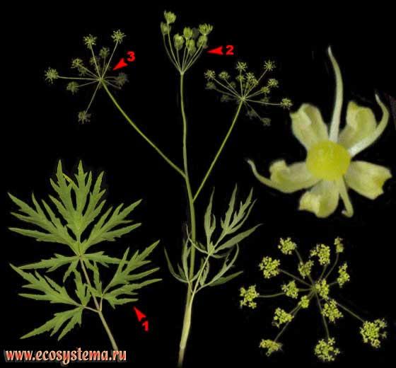 Борщевик сибирский — Heracleum sibiricum L.