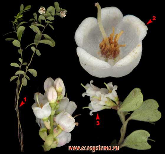 Брусника — Vaccinium vitis-idaea L.