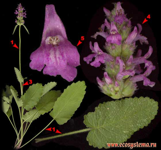 Буквица лекарственная — Betonica officinalis L. (Stachys officinalis (L.) Trevis.)