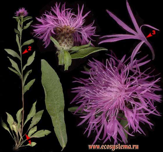 Василек луговой — Centaurea jacea L.