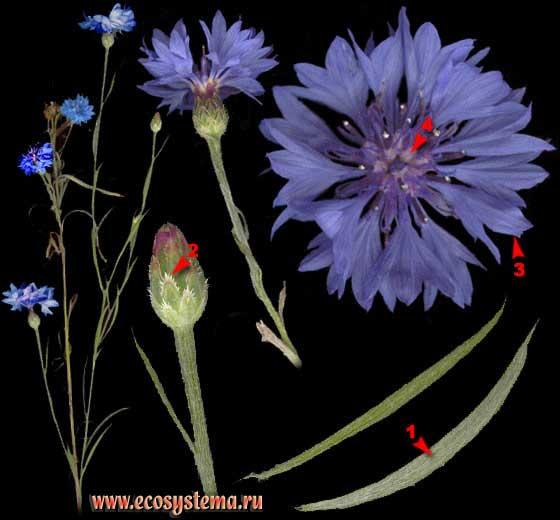 Василек синий, или посевной — Centaurea cyanus L.