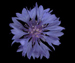 Василек синий - Centaurea cyanus L.