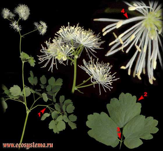 Василисник водосборолистный — Thalictrum aquilegifolium L.