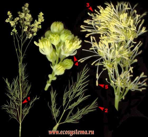 Василисник светлый — Thalictrum lucidum L.