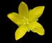 Вербейник монетный - Lysimachia nummularia L.