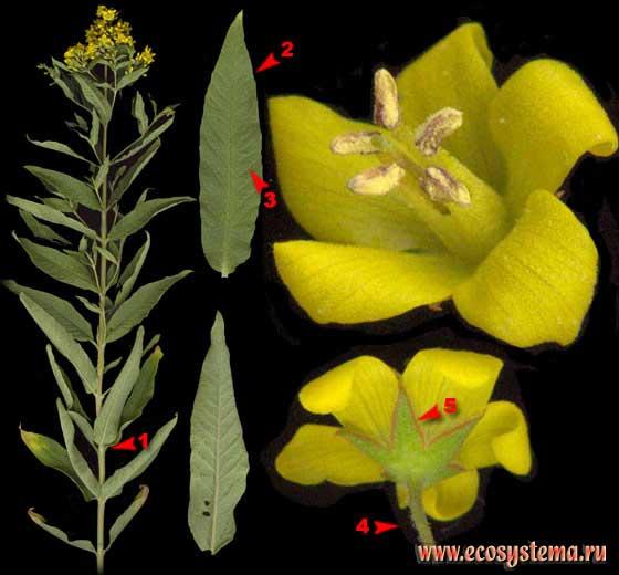 Вербейник обыкновенный — Lysimachia vulgaris L.
