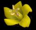 Вербейник обыкновенный - Lysimachia vulgaris L.