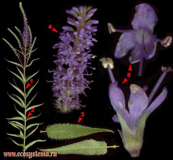 Вероника длиннолистная — Veronica longifolia L.