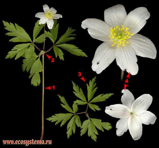 Ветреница дубравная — Anemone nemorosa L. (Anemonoides nemorosa (L.) Holub)