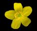 Ветреница лютиковая - Anemone ranunculoides L.
