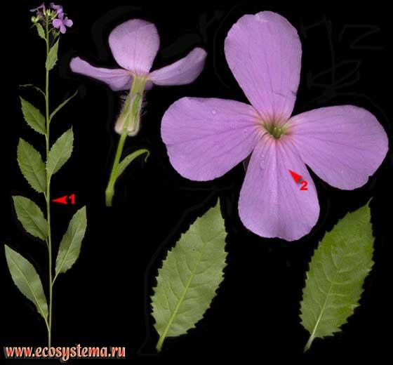 Вечерница ночная фиалка — Hesperis matronalis L.