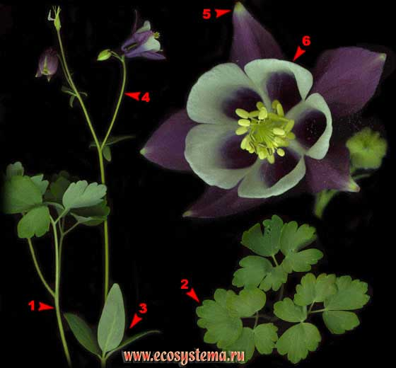 Водосбор обыкновенный — Aquilegia vulgaris L.