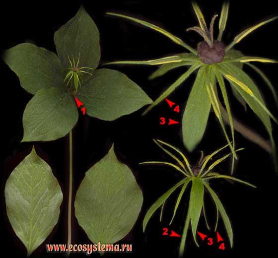 Вороний глаз четырехлистный — Paris quadrifolia L.