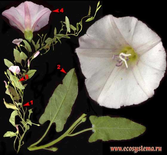 Вьюнок полевой — Convolvulus arvensis L.