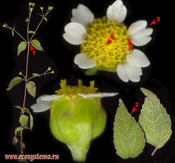 Галинзога мелкоцветковая — Galinsoga parviflora Cav.