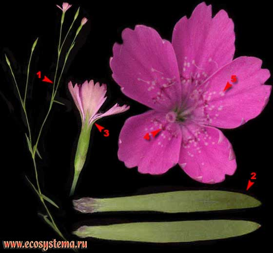 Гвоздика травянка — Dianthus deltoides L.