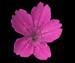 Гвоздика травянка - Dianthus deltoides L.