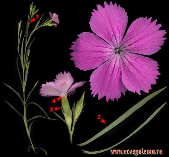 Гвоздика Фишера — Dianthus fischeri Spreng.