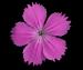 Гвоздика Фишера - Dianthus fischeri Spreng.