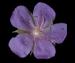Герань луговая - Geranium pratense L.
