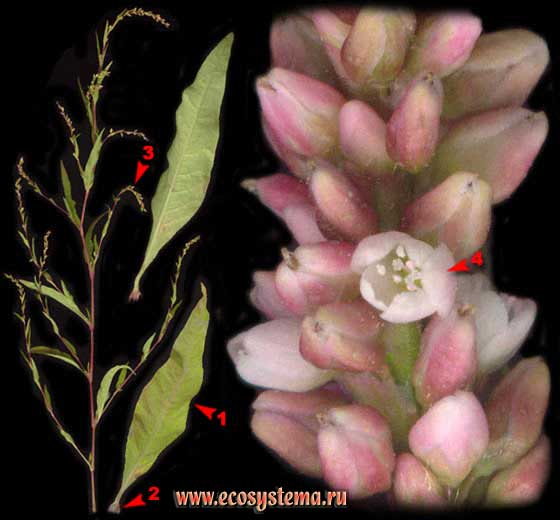 Горец перечный, или Водяной перец — Polygonum hydropiper L. (Persicaria hydropiper (L.) Spach)
