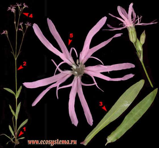 Горицвет кукушкин, или Кукушкин цвет — Coronaria flos-cuculi (L.) A. Br. (Lychnis flos-cuculi L.)