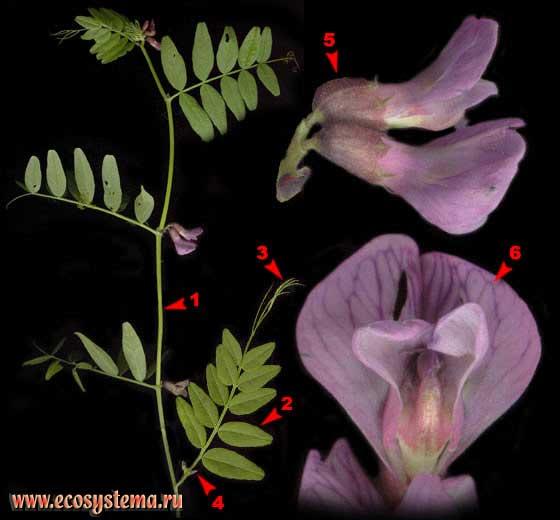 Горошек заборный — Vicia sepium L.