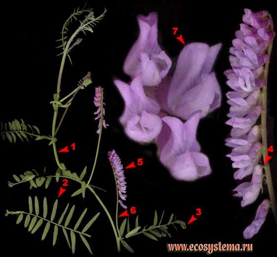 Горошек мышиный — Vicia cracca L.