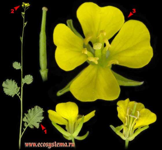 Горчица полевая —Sinapis arvensis L.
