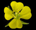 Горчица полевая - Sinapis arvensis L.