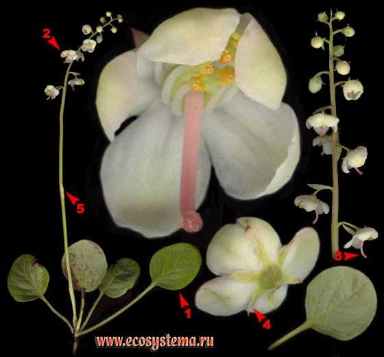 Грушанка круглолистная —  Pyrola rotundifolia L.